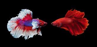 Deux poissons de combat siamois sur le fond noir Photo libre de droits
