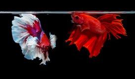 Deux poissons de combat siamois sur le fond noir Photographie stock libre de droits