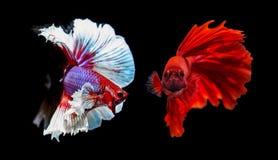 Deux poissons de combat siamois sur le fond noir Photos libres de droits