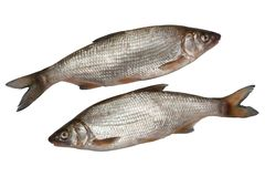 Deux poissons de nase Photos libres de droits