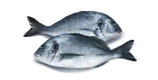 Deux poissons parallèles de dorado d'isolement sur le fond blanc image stock