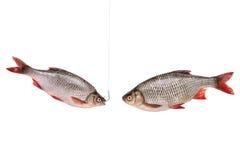 Deux poissons, poissons sur un crochet, d'isolement sur le blanc, chemin de coupure Images libres de droits