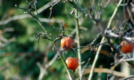 Deux pommes défraîchies laissées sur un arbre en hiver photographie stock