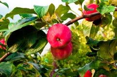 Deux pommes rouges sur un branchement Photographie stock libre de droits