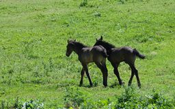 Deux poneys Image stock