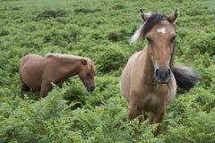 Deux poneys de Dartmoor sur Dartmoor, Angleterre Images libres de droits