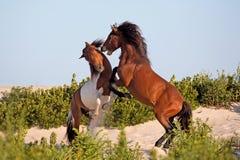 Deux poneys sauvages combattant sur la plage Photo libre de droits