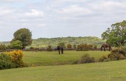 Deux poneys sauvages dans la nouvelle forêt, Hampshire Image stock