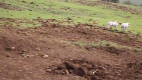 Deux porcelets fonctionnant pour enfanter la truie dans un domaine de ferme dans la campagne banque de vidéos