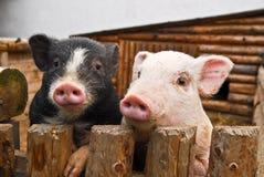 Deux porcs photo libre de droits
