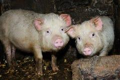 Deux porcs Photo stock