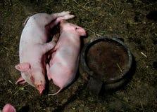 Deux porcs mignons Photographie stock