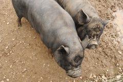 Deux porcs noirs Photos stock