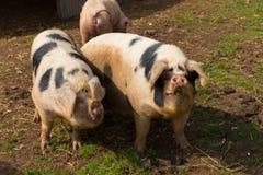 Deux porcs noirs et blancs avec des taches dans un domaine Photographie stock
