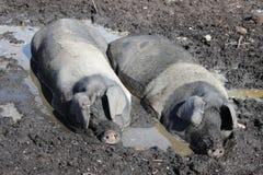 Deux porcs se vautrent dans un bain de boue un jour chaud. Photo stock