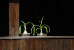 Deux pots de fleur d'Ornithogalum Caudatum Photos libres de droits