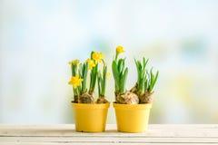 Deux pots de fleurs avec des jonquilles Photographie stock libre de droits