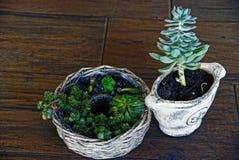 Deux pots de fleurs avec des usines sur un plancher en bois dans la chambre Photos libres de droits