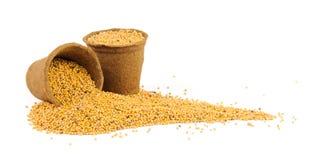 Deux pots de tourbe remplis de graines de moutarde Images libres de droits