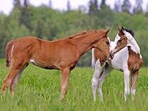 Deux poulains mignons de cheval au ressort pâturent, se saluant Photographie stock libre de droits