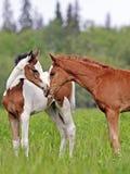 Deux poulains, Pinto et châtaignes mignons de cheval l'été frais pâturent, se saluant Photo stock