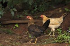 Deux poules photo libre de droits