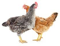 Deux poules Photos stock