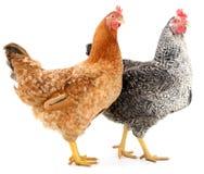 Deux poules Photo stock