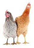 Deux poules Photographie stock