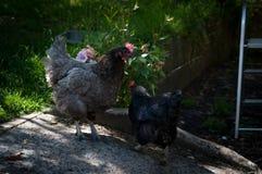 Deux poules Photos libres de droits