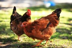 Deux poules de couleur photographie stock