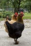 Deux poulets photographie stock libre de droits