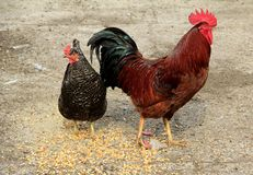 Deux poulets Photo libre de droits
