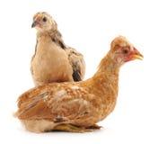 Deux poulets image stock