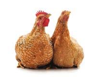 Deux poulets bruns photo libre de droits