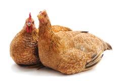 Deux poulets bruns photo stock