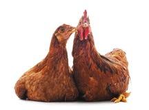 Deux poulets bruns photos stock
