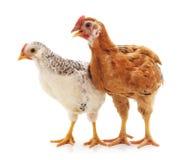 Deux poulets bruns photos libres de droits