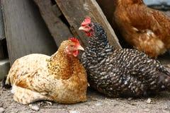 Deux poulets de repos Photo stock