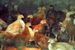 Deux poulets de trois mois des poulets rouges à l'intérieur d'une cage de poulet Race des pondeuses donnant beaucoup d'oeufs Image libre de droits