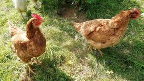 Deux poulets fous en Rép. Féd. d'Allemagne du sud photographie stock libre de droits