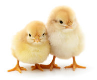 Deux poulets jaunes Images stock
