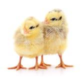 Deux poulets jaunes photo libre de droits