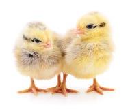 Deux poulets jaunes photographie stock