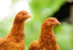 Deux poulets rouges photographie stock libre de droits