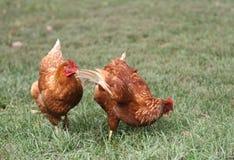 Deux poulets rouges image stock