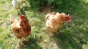 Deux poulets rouges en Rép. Féd. d'Allemagne du sud à une ferme images libres de droits