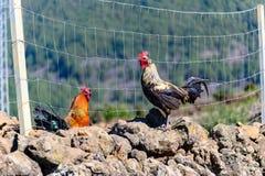 Deux poulets se tiennent devant une barrière images libres de droits
