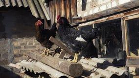 Deux poulets sur un toit jeté photos stock