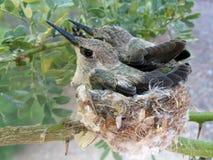 Deux poussins de colibri de bébé dans un nid Images stock